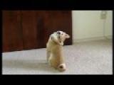 Смешные Сиба-ину Щенок смотрит на меня - Shiba Inu