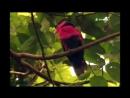 «Назад к природе (28). Моробе, Папуа-Новая Гвинея» (Реальное ТВ, животные, 1998)