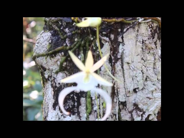 Ghost Orchid in the Fakahatchee Strand