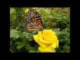 (two songs) Ralph Stanley - Daddy's Rose &amp A Robin Built A Nest On Daddy's Grave
