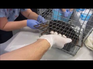 How to Restrain a Cat and Inject Anesthesia
