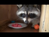 ТОП 5 Лучшие видео про енота. Еноты приколы 2016. TOP 5 Best video cute funny raccoons 2016.