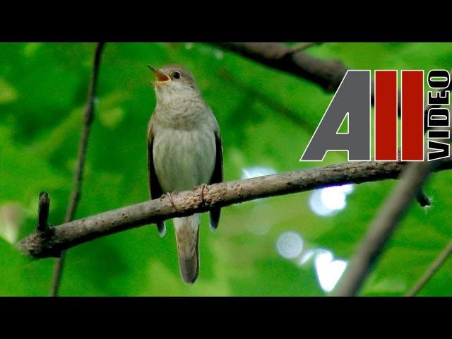 Пение соловья Голоса птиц Nightingale song