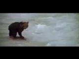 Пума в погоне за медвежонком.