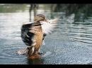 Охота на уток с манком!Смотрите результат