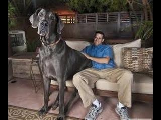 Немецкий (Датский) дог, все породы собак, 101 dogs. Введение в собаковедение.