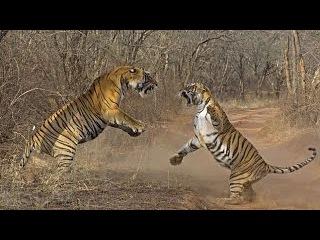 Хищники Джунглей . Тайны Дикой Природы Индии . Интересный Документальный Фильм
