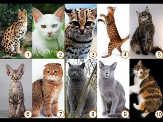 Разные породы кошек. Какие самые популярные кошки в мире