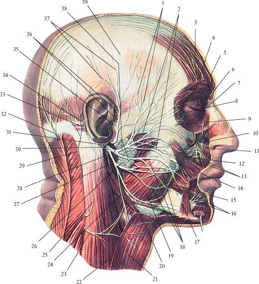 Нерв лицевой