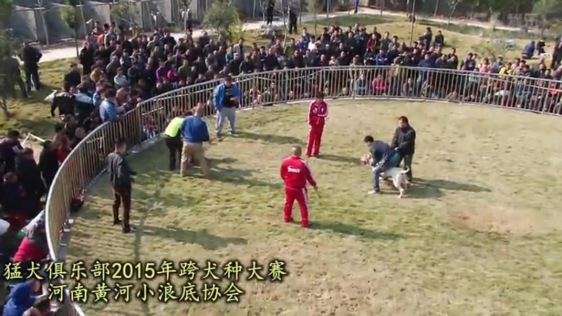Собачьи бои Турнир в Китае 2015 аргентинский дог vs канарский дог (3)
