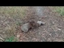 Борьба коал Дагестанский комментатор Koala wrestling