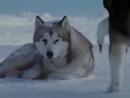 Клип про любовь и преданность волков