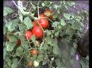 Люффа мочалка с огорода