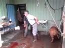 Neuspješan udarac svinje u glavu Unsuccessful shot a pig's head