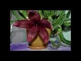 Редкое видео - Как распускается цветок кактуса. Cactus A. grandiflora