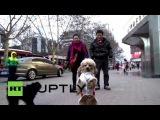Китай: Знакомства Барби, собака, которая любит ходить как человек.