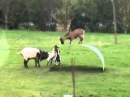 FUNNY GOATS BALANCING ON A FLEXIBLE METAL RIBBON LOL (EPIC PARTY) TINY TIM REMIX SONG
