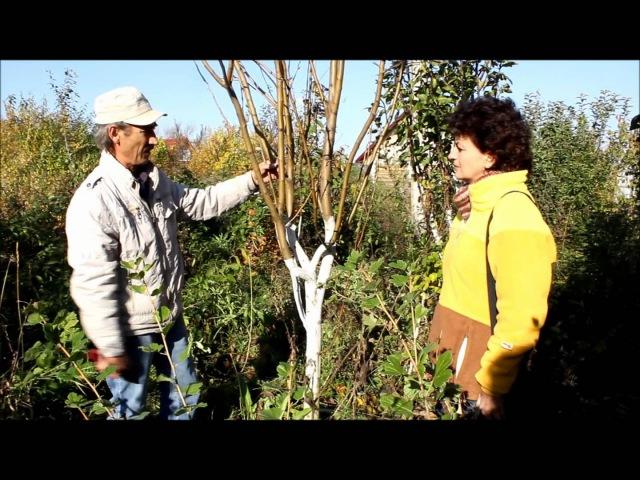 Обрезка и побелка плодовых деревьев. Сайт Садовый мир