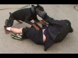 Тренинг...доберман в атаке