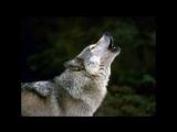 The greywolf hunts again - Craig Chaquico