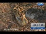В Сети появилось видео Убийства тигр Амур задрал козла Тимура