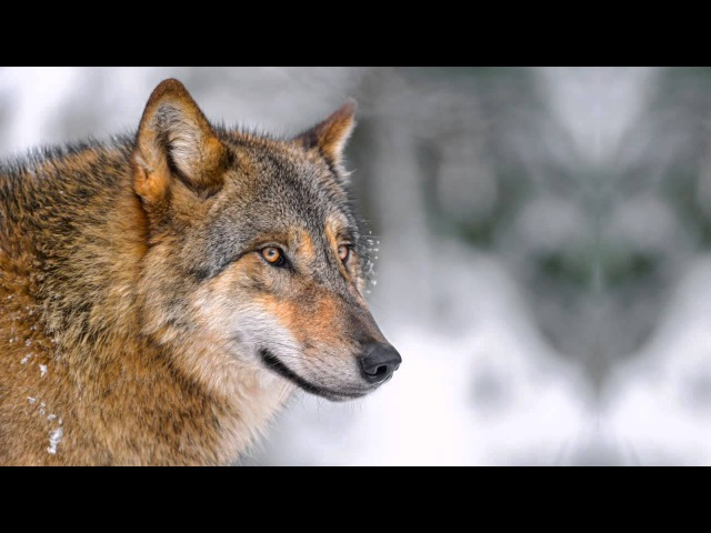 Relaxation Music Wolf Lore Walking with Merlyn