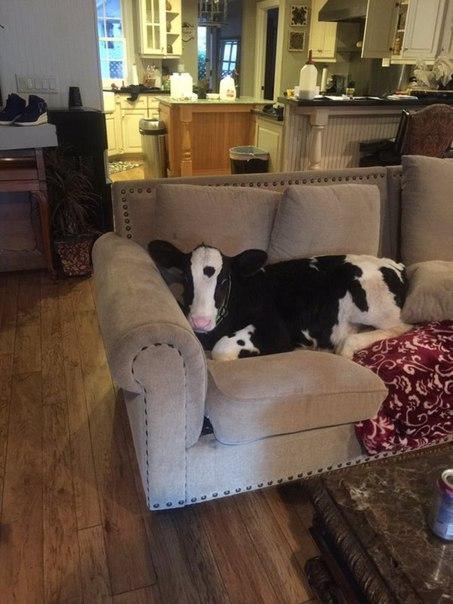 На молочной ферме отказались от слабого теленка, и животное нашло приют в доме обычной семьи. В результате теленок, похоже, считает себя собакой и прекрасно себя при этом чувствует.