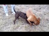 2 питбуля и быстрый проигрыш собачий бой