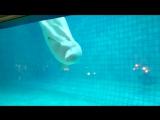 Белуха - такой странный вид дельфина. Очень милый и смешной и явно хочет общаться))