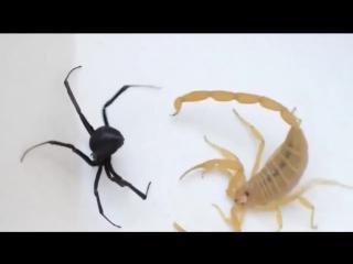 Черная вдова против Скорпиона ٭_٭