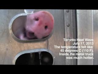 Если вы жрете мясо, то вы должны знать, что до того как этих животных убьют за ваши деньги, они страдают многие часы, дни и неде