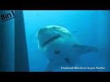 Самая большая белая акула снова появилась / SHE IS BACK - great whit shark Deep Blue