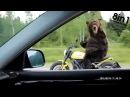 Медведь на мотоцикле едет по дороге в России Bear Riding a Motorcycle on the russian road