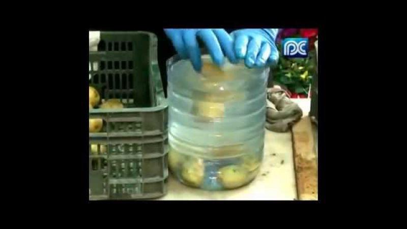 Подготовка ( обработка ) семенного картофеля перед посадкой