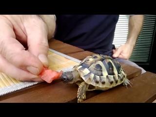 Маленькие Черепахи Едят Арбуз