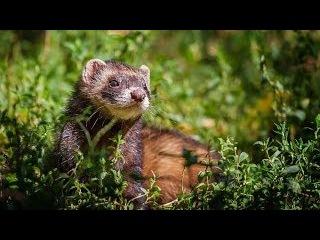 #723. Хорьки, куницы, горностаи, ласки и соболи (В мире животных)