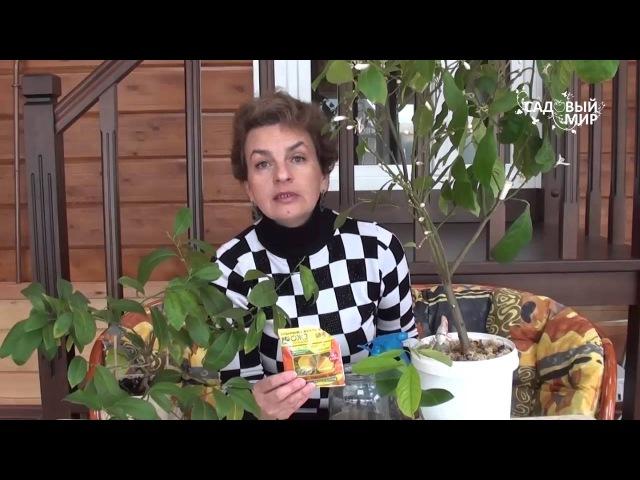 Чем подкормить комнатный лимон и мандарин. Сайт Садовый мир