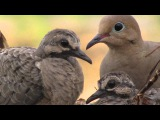 Bobwhite Dover and Cardinals 11 Hours -Sounds of Nature 49 of 59 - Birds Sounds - Pure Nature Sounds