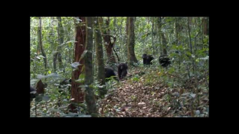 Violent chimpanzee attack Planet Earth BBC wildlife