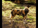 История одной гиеновой собаки - A wild dogs taleNat Geo Wild