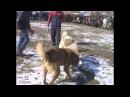Лучший Собачий Бой