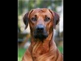 Родезийский риджбек, все породы собак, 101 dogs. Введение в собаковедение.