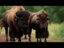 Спецвыпуск Бизоны чудища National Geographic