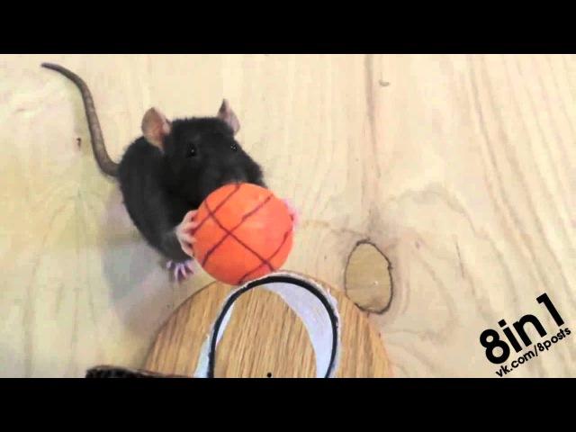 Дрессированная крыса выполняет трюки / Truth About Rats: Rat Tricks