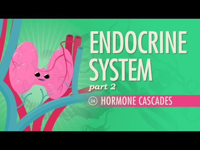Endocrine System part 2 Hormone Cascades Crash Course A P 24