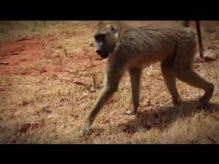 Зверский криминал - медоеды-громилы, павианы-грабители и крокодилы-убийцы -- Все как у зверей в Кении