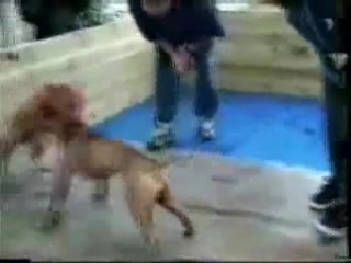 Собачьи бои питбуль Pepsi Team s GR CH Holly vs Kozlov s BESSY