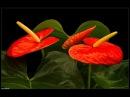 10 комнатных растений, которые принесут ЛЮБОВЬ в ваш дом