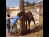 Верблюд схватил человека за голову. Жесть!