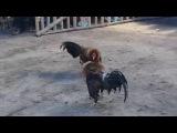 Петушиные бои на острове Боракай (Филипинны): собственно бой